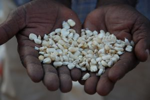 "A handful of maize seed, especially precious because it is of the improved, drought tolerant variety TAN 250, which yields even in times of drought. This was developed and registered for sale in Tanzania through CIMMYT's Drought Tolerant Maize for Africa (DTMA) project, in partnership with Tanzanian seed company Tanseed International Limited. It is based on material from CIMMYT-Zimbabwe, CIMMYT-Mexico, and Tanzania. For more about TAN 250 and the longstanding collaboration between Tanseed and CIMMYT, see CIMMYT's June 2009 e-news story ""No maize, no life!"" available online at: https://www.cimmyt.org/en/newsletter/38-2009/119-genetic-resources-program. For more about DTMA see: https://dtma.cimmyt.org. Photo credit: Anne Wangalachi/CIMMYT."