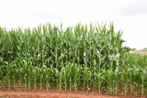 Quality assurance and control ensure delivery of high quality maize seed to farmers
